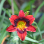 Early Summer in N.E. Oz - Hemerocallis 'Velvet Eyes' is flowering