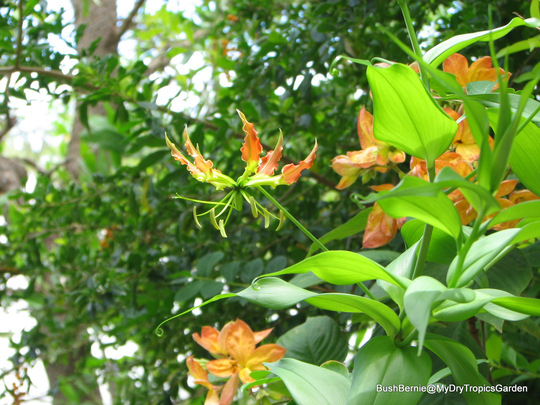 Early Summer in N.E. Oz - Gloriosa rothschildiana is blooming