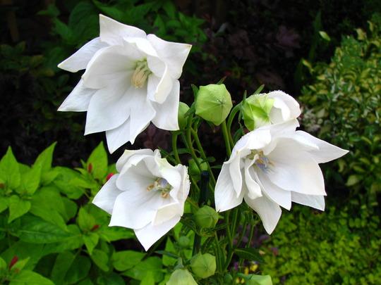 Platycodon grandiflorus 'Double White'