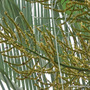Early Summer in N.E. Oz - the flowers of the Triangular Palm are attracting lots of bees and wasps