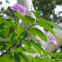 Early Summer in N.E. Oz - first of the Lagerstroemia speciosa or Queen's Myrtle blooms are appearing