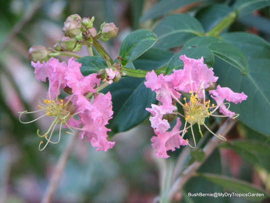 Early Summer in N.E. Oz - first of the Lagerstroemia indica or Crepe Myrtle blooms are appearing