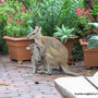 Early Summer in N.E. Oz - garden visitors known as Agile Wallabies
