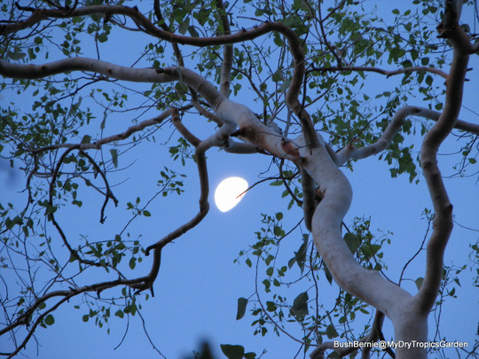 Early Summer in N.E. Oz - moonlight through the Gum tree branches