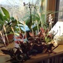 Jewel orchid Ludisia Discolor with 13 flower spikes