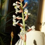 Jewel_orchidludisia_discolor_spike_copy