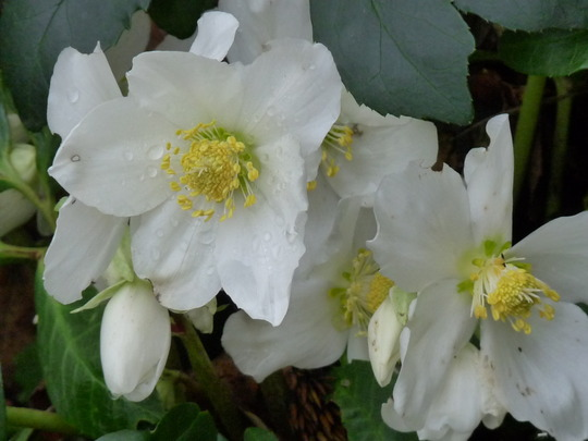 Christmas Rose  (Helleborus)