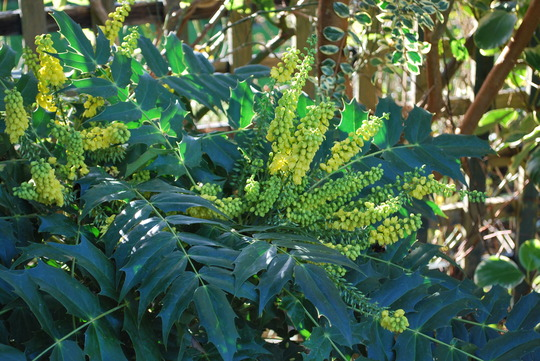 Mahonia Charity....before the atrocious weather!! (Mahonia x media (Lily of the valley bush) Charity)