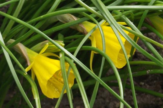 Golden Bells (Narcissus bulbocodium (Hoop-petticoat Daffodil))