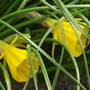 Golden Bells (Narcissus bulbocodium (Hoop-petticoat Daffodil))