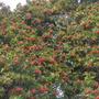 Schinus terebinthifolius - Brazilian Pepper Tree (Schinus terebinthifolius - Brazilian Pepper Tree)
