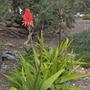 Aloe arborescens - Aloe (Aloe arborescens - Aloe)