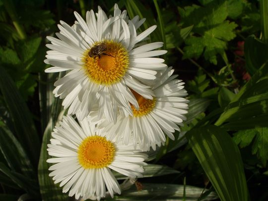 New Zealand Daisy