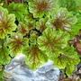 HEUCHERA .. shiny and bright at Christmas :o)