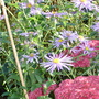 My favourite September/October perrenial (Aster x frikartii)