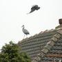 grey heron and crow
