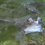 frog in old garden pond