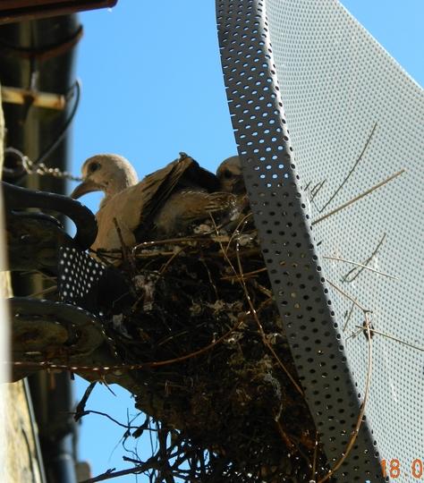 collar dove nesting in my sky dish!!