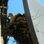 collar dove nesting in my sky dish!!