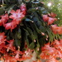 Salmon Christmas Cactus full bloom