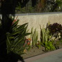 Sansevieria; Aeonium and Bird-of-Paradise at Mission Beach, San Diego, CA. (Sansevieria; Aeonium and Bird-of-Paradise)