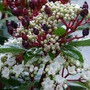 Viburnum tinus flowering the New Year in....:o) (Viburnum tinus (Laurustinus))