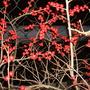 Ilex Verticillata Berry Poppins