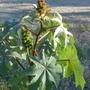 The castor oil plant, Ricinus communis