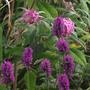 Stachys Hummelo (Stachys officinalis (Bathenien))