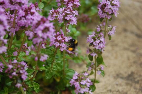 Bee on my thyme (Thymus pulegioides)