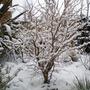 Prunus incisa Kojo-no-mai winter shapes.