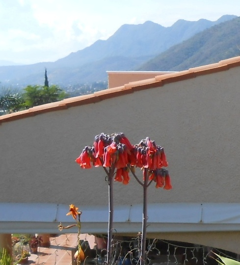 Flowers of Kalanchoe delagoensis (Kalanchoe delagoensis)