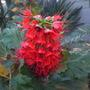 Greyia sutherlandii - South African Bottlebrush (Greyia sutherlandii - South African Bottlebrush)