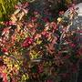 Euphorbii millii (dwarf form) - Crown-of-Thorns (Euphorbii millii (dwarf form) - Crown-of-Thorns)