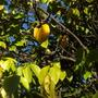 Averrhoa carambola - Star Fruit (Averrhoa carambola - Star Fruit)