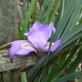 Iris_unguicularis_2014