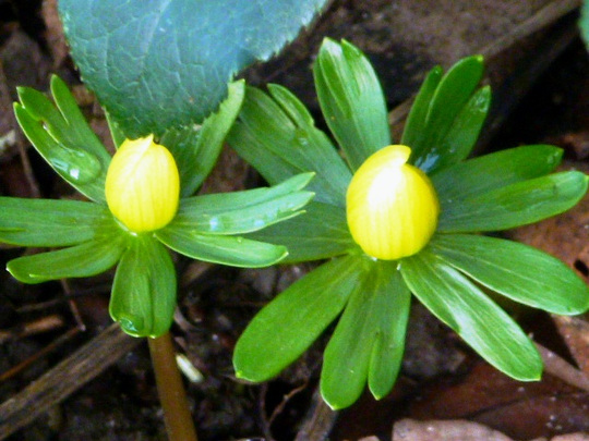 Aconites     First ones January