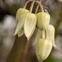 Clematis anshunensis 'Winter Beauty (Clematis anshunensis)