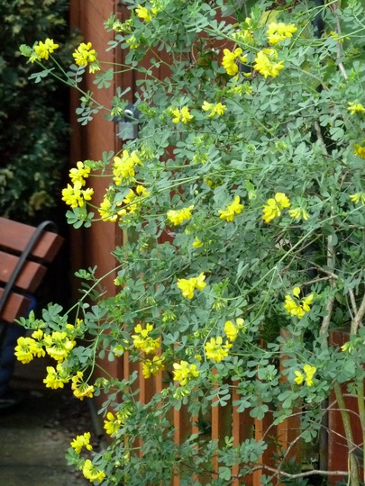 Flowering frenzy from Coronilla ...