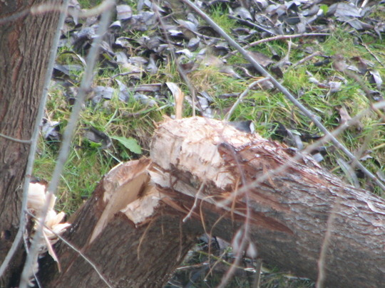 Willow tree cutted by beaver.