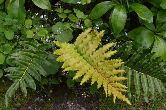 Blechnum chilense (fern) (Blechnum chilense)