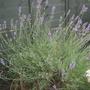 Lavender Bush.