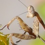 Praying_mantis_detail