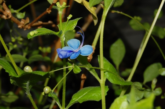 The First of Many! (Clerodendrum ugandense (Blue glory bower))