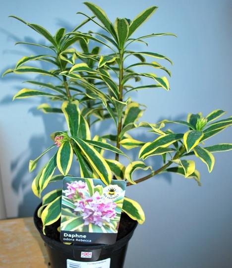 Daphne odora Rebecca.......scented shrub... (Daphne odora (Daphne) Rebecca..)