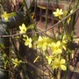 Jasminum_nudiflorum_2014