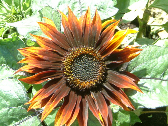 sunflower... autumn beauty i think!!
