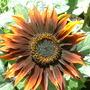 sunflower... autumn beauty i think!!