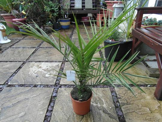 bargain date palm (pheonix date palm)