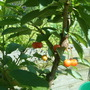 so excited...... nearly red cherries!!!